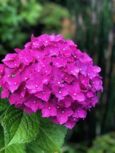 梅雨 紫陽花