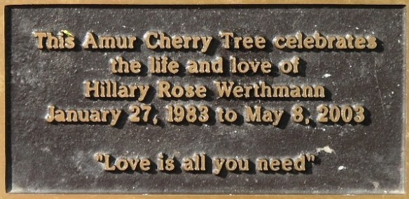 Amur Cherry Tree