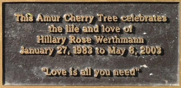Amur Cherry Tree