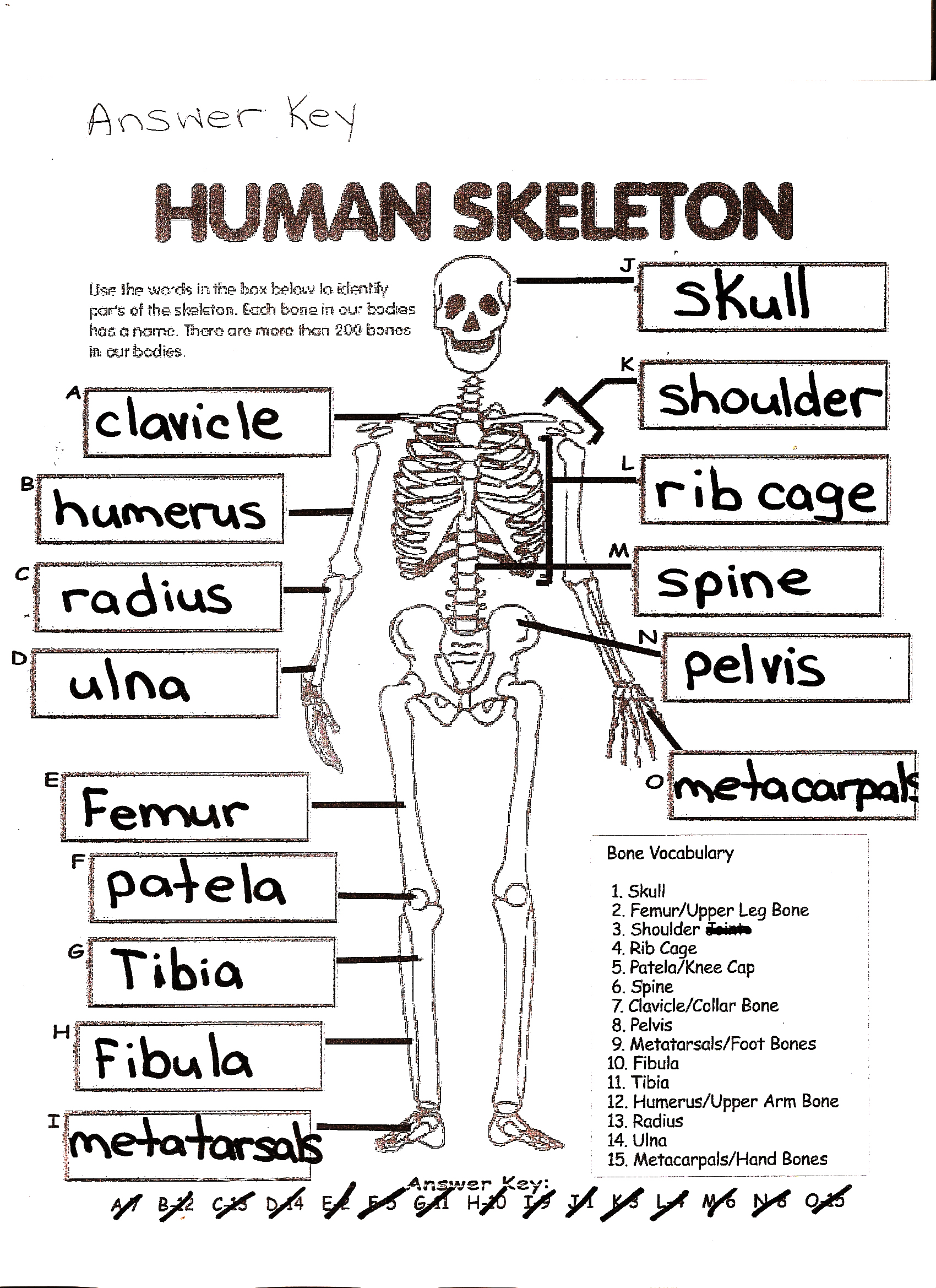 4th Grade Human Anatomy Worksheet