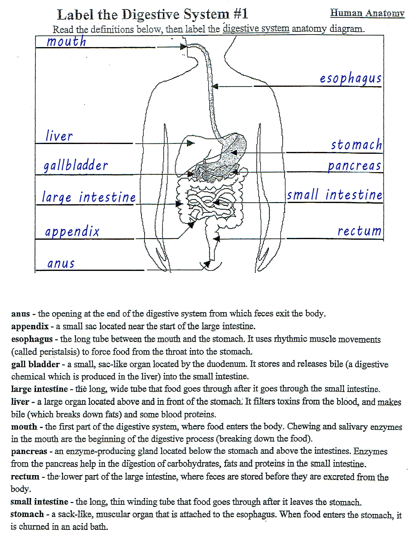 29 Digestive System Worksheet Answer Key