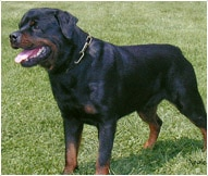 Rottweiler Dog Breed Facts And Personality Traits Hill