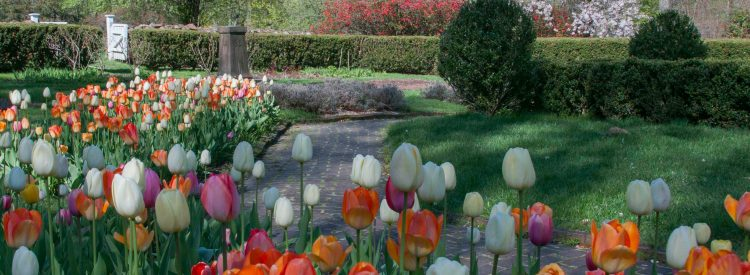 tulips in the sunken garden