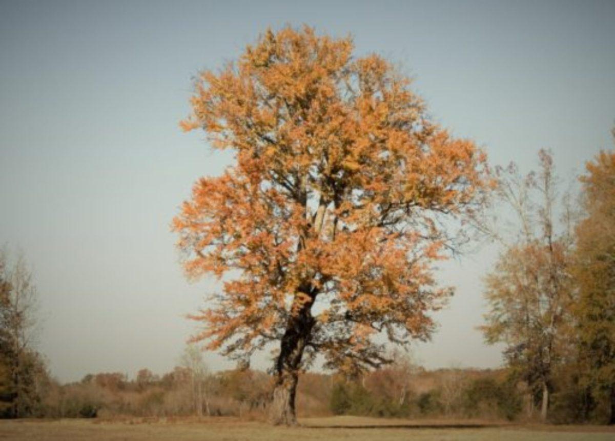 twisted oak