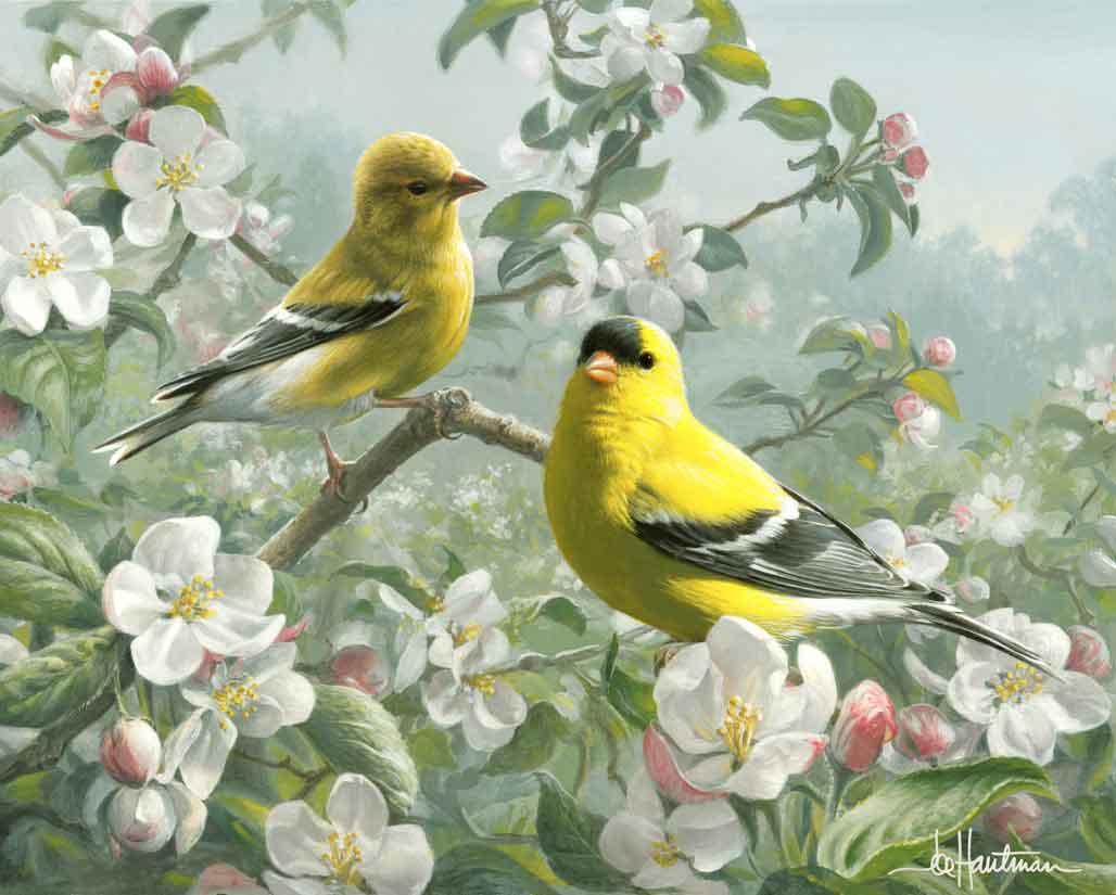 Orchard Goldfinch Washington State Bird