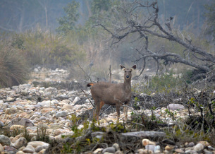 1-deer-jim-corbett-national-park-sambhar-630981