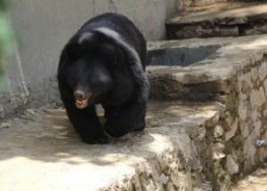 Blackbear at Kalatop Wildlife Sanctuary