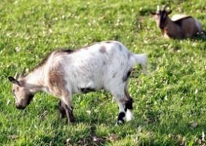 goat village, goats
