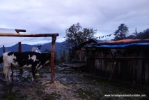 We luck out on our second night and shelter in a cow herder's hut just as the rain started coming down - above Tarkeghyang