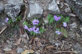 Flowers all along the Helambu Trail