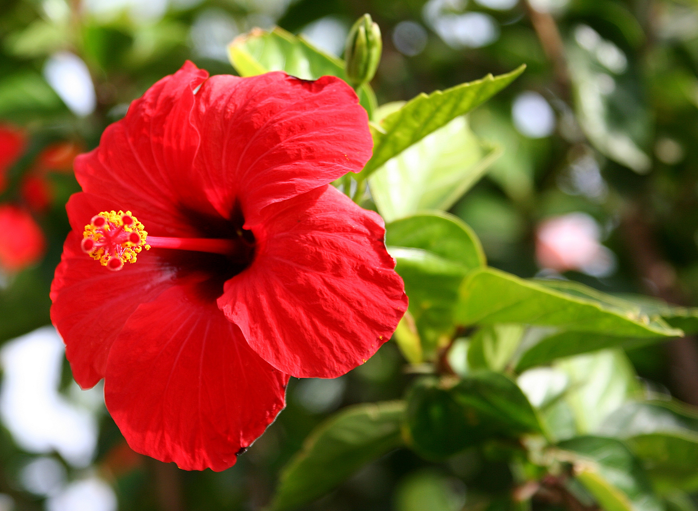 Flower Names in Hindi and English                                                                List of Flowers Hibiscus                                         Gudhal  Hibiscus rosa sinensis