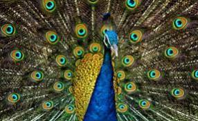 About Peacock in Hindi & English
