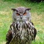 eurasian-eagle-owl-1107532_1920
