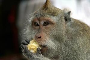 monkey-bali-1022505_640