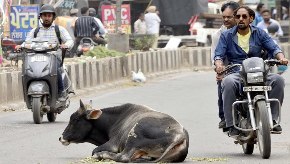 Stray cows are often found in the middle of the roads, causing problems to commuters.(HTFile)