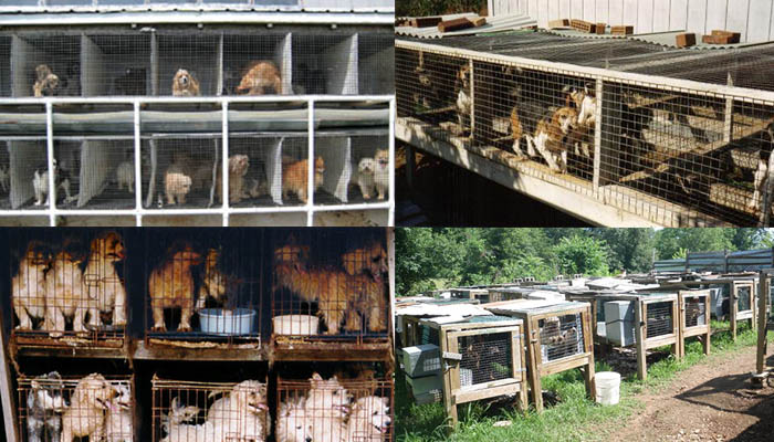 The puppy mill's back yard with many different breeds in small cages.