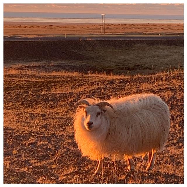 IJslandse schaap