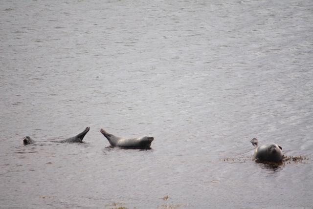 ijsland zeehondjes
