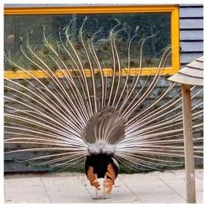 pauw achterkant open veren