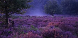 hoorneboegse heide met mist