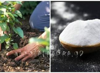 Δεν γνωρίζατε καν πόσο απίστευτα χρήσιμη είναι η μαγειρική σόδα για τα φυτά σας!