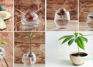 Καλλιεργήστε το δικό σας δέντρο αβοκάντο