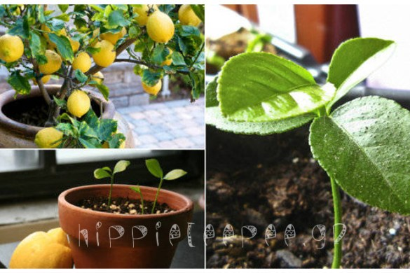 Πώς να καλλιεργήσετε μόνοι σας Λεμόνια, από σπόρους εύκολα στο σπίτι σας