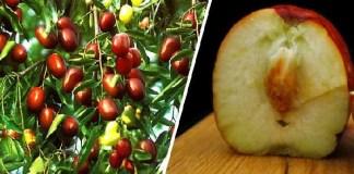 Τζιτζιφιά – Το Δέντρο Γιατρός! Οι άγνωστες Θεραπευτικές της Ιδιότητες και Τρόποι Καλλιέργειας
