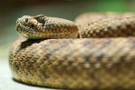 close up of rattlesnake's head, coiled