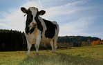 dairy-cow-in-france-field