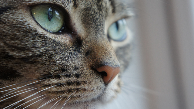 close up of tabby cat with big green eyes