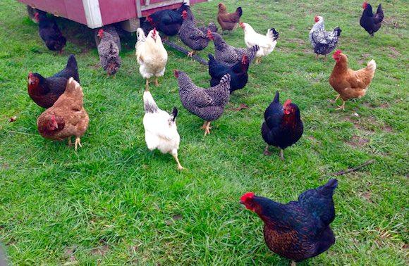 Unsworth chickens