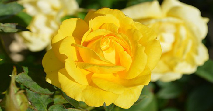 yellow-rose-196393__340.jpg