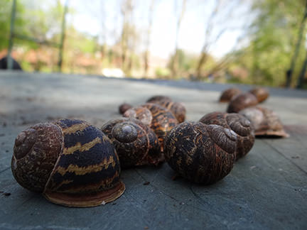 Snails, scourge of the allotment