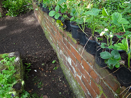 potted strawberry plants sitting on a low wall on our allotment