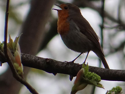 singing robin on our allotment