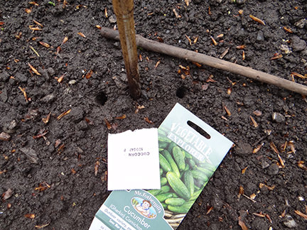 cornichon seeds being sown into an allotment bed