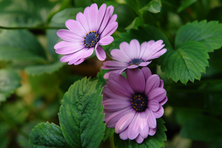 lilac coloured osteospermum growing in a vintage metal bucket