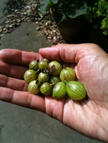 Our gooseberry harvest