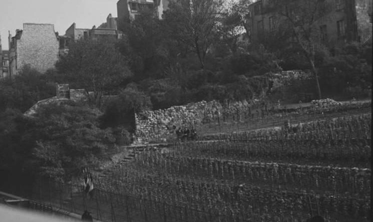 Vendange de la vigne de Montmartre en 1938 photographie André Zucca