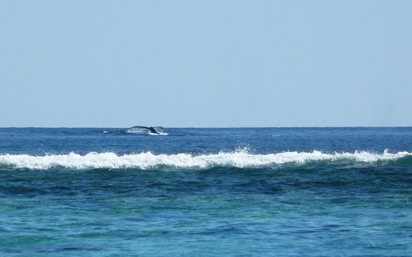 Une belle queue de baleine