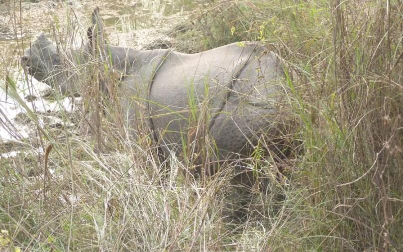 Nepal rhinoceros corne