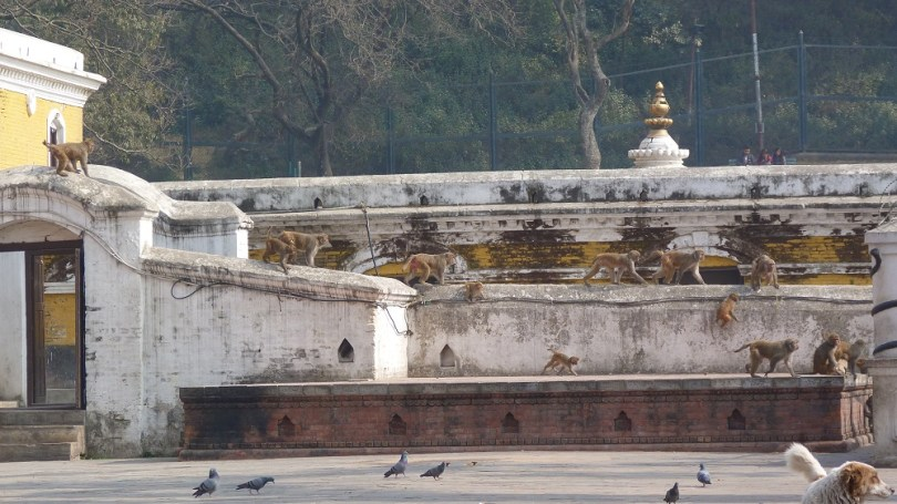 Pashupatinath singes temple hindouiste