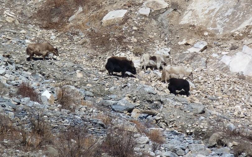 Nepal troupeau yaks