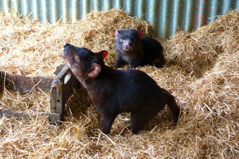 Tasmanian devil conservation park devil