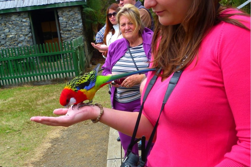 Tasmanian devil conservation park parrot