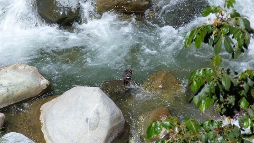 Colca river oiseau
