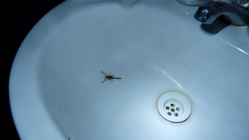 Scorpion San Juan de Chuccho