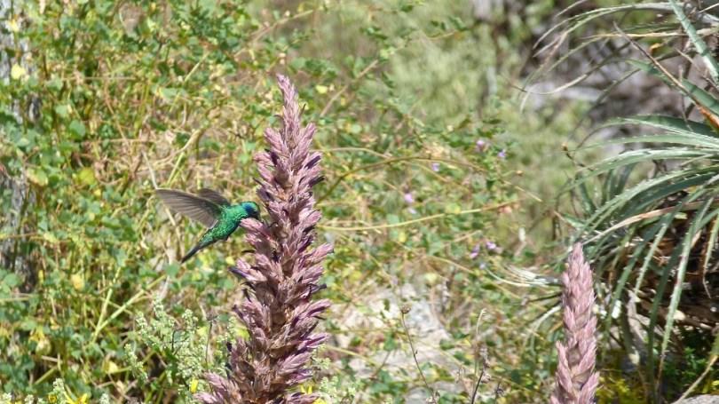colibri trek choquequirao