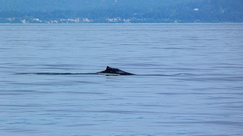 Canada Colombie britannique orca spirit baleine